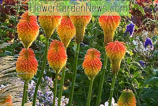 Kniphofia rooperi (Red Hot Poker)