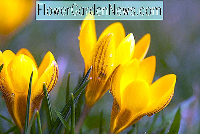Crocus chrysanthus 'Zwanenburg Bronze' (Snow Crocus)