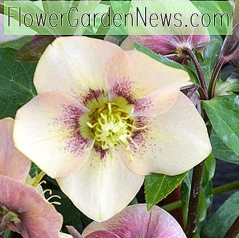 Helleborus Sandy Shores, Nieswurz 'Sandy Shores', Lenten Rose 'Sandy Shores', Aprikosen Nieswurz, Pink Nieswurz, Single Nieswurz, Single Lenten Rose