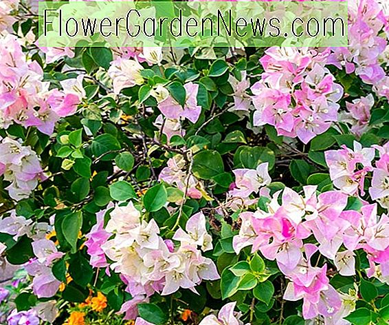 Bougainvillea 'Imperial Delight'