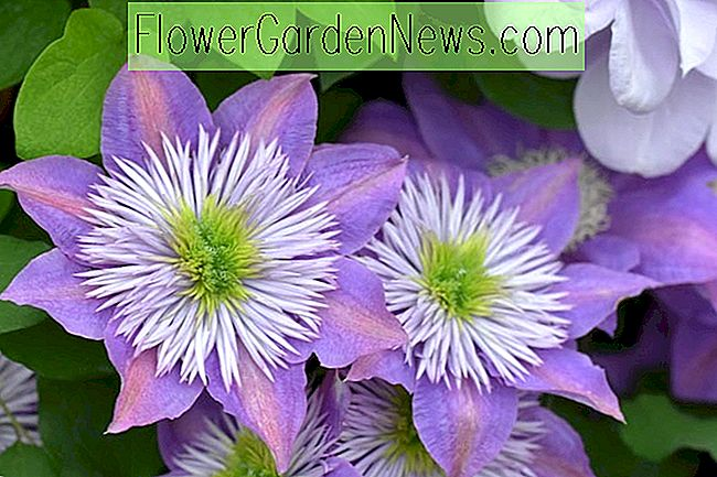 Clematis 'Crystal Fountain' (Early Large-Flowered Clematis)