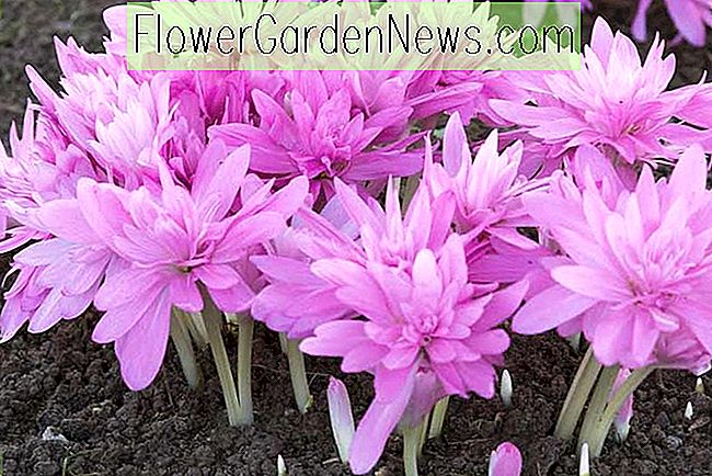 Colchicum 'Waterlily' (Meadow Saffron)