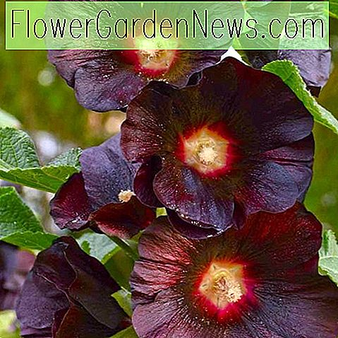 Alcea rosea 'Blacknight' (Hollyhock)