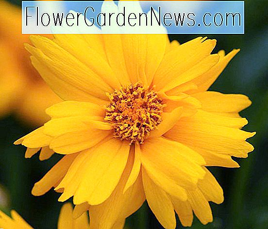 Coreopsis grandiflora 'Sun Up' (Tickseed)