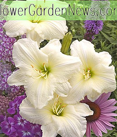 Hemerocallis 'Joan Senior' (Reblooming Daylily)