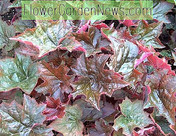 Heuchera micrantha 'Palace Purple' (Korallenglocken)