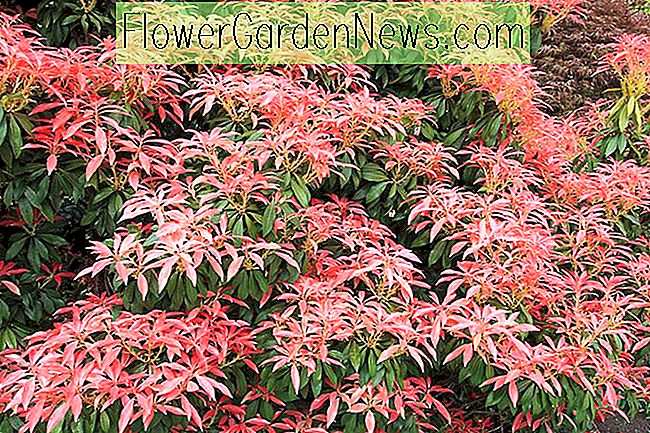 Pieris japonica 'Red Head' (Japanse Andromeda)