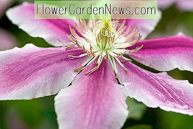 Clematis 'Doctor Ruppel' (Early Large-Flowered Clematis)