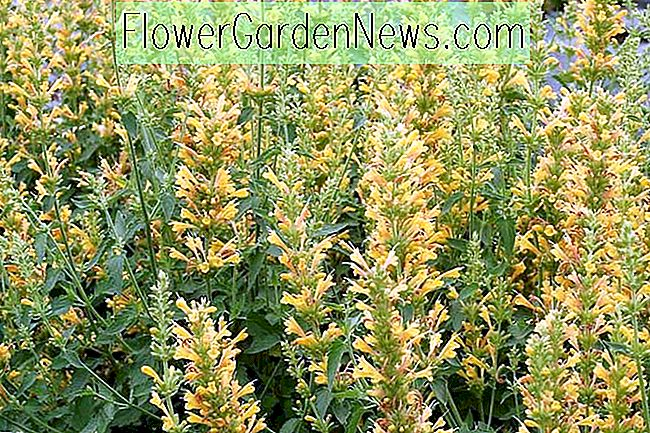 Agastache 'Kudos Yellow' (Hummingbird Mint)