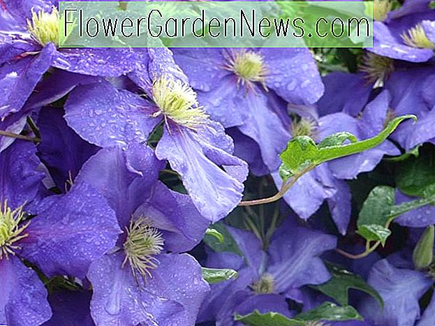 Clematis 'General Sikorski' (Early Large Flowered Clematis)