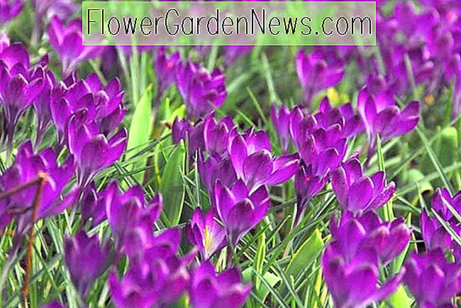 Crocus tommasinianus 'Ruby Giant' (Early Crocus)