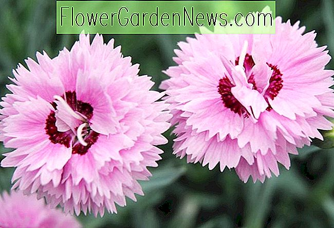Dianthus 'Pop Star' (Rosa)