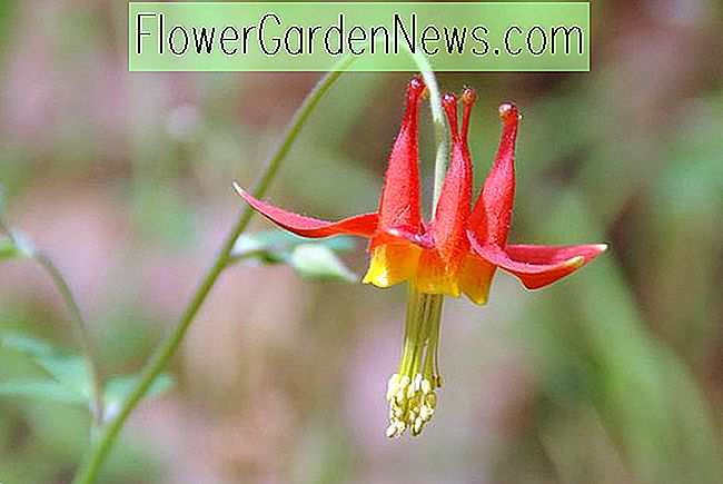 Aquilegia formosa (Columbine occidental)