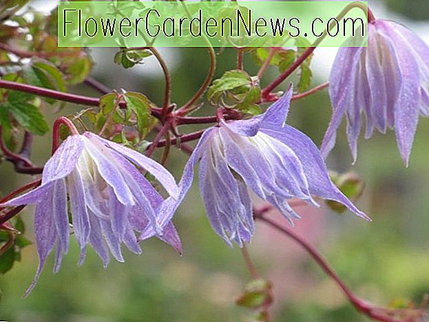 Clematis 'Blue Dancer' (กลุ่ม Atragene)