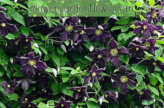 Clematis 'Romantika' (Late Large-Flowered Clematis)