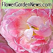Tulip Peach Blossom, Tulipa Peach Blossom, Tulipe Peach Blossom, Pink Tulips, Double Early tulpen, Tulipes Double Hatives, Spring Bulbs, Spring Flowers