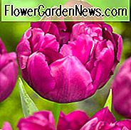 Tulpe Royal Acres, Tulipa Royal Morgen, Tulipe Royal Morgen, Purple Tulpen, Doppel frühe Tulpen, Tulpen Doppel Hatives, Frühlingszwiebeln, Frühlingsblumen
