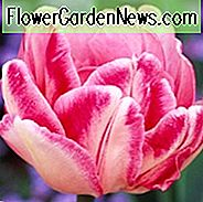 Tulipa 'Foxtrot', Tulip 'Foxtrot', Double Early Tulip 'Foxtrot', Double Early Tulips, Spring Bulbs, Spring Flowers, Tulipes Double Hatives, Pink Tulip