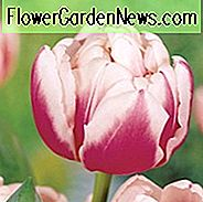 Tulipa 'Melrose', Tulip 'Melrose', Double Early Tulip 'Melrose', Double Early Tulips, Spring Bulbs, Spring Flowers, Tulipe Melrose, Double pink Tulip, Pink Tulip