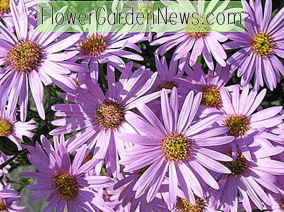 Aster amellus 'Rosa Erfullung' (Italiaanse asters)