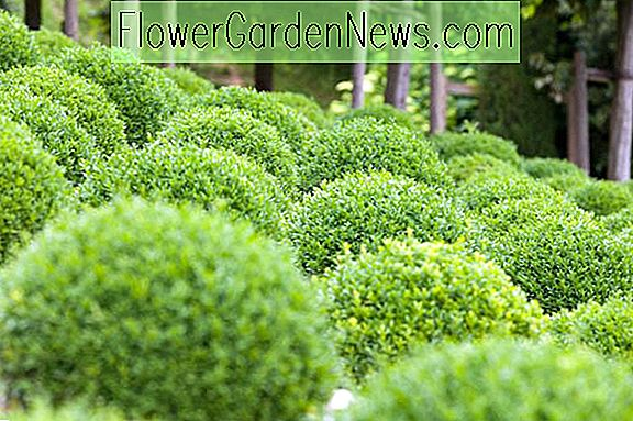 Buxus sempervirens 'Suffruticosa' (Boxwood)