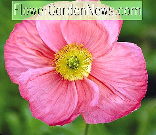 Papaver Nudicaule 'Champagne Bubbles Pink' (Island Poppy)