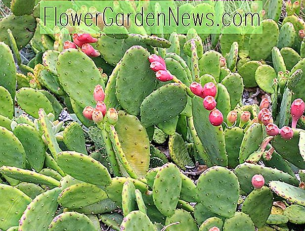 Opuntia humifusa (Eastern Prickly Pear)