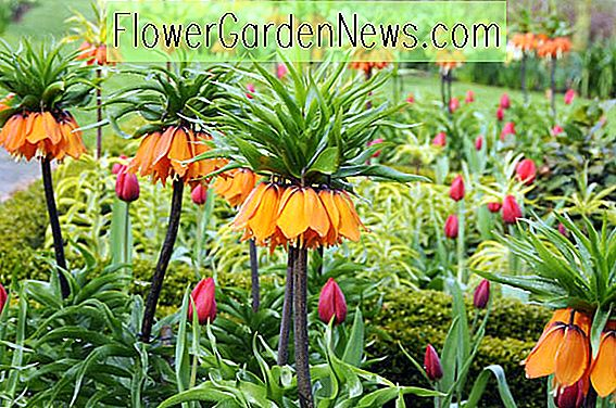 Fritillaria imperialis 'The Premier' (Crown Imperial)