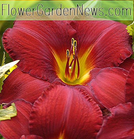 Hemerocallis 'James Marsh' (Taglilie)