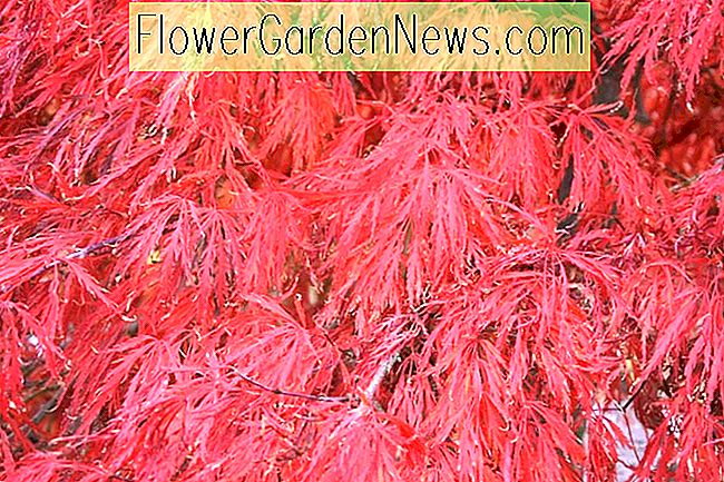 Acer palmatum 'Crimson Queen' (Laceleaf japansk Maple)