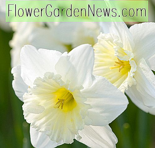 Narcissus 'Ice Follies' (Large-Cupped Daffodil)