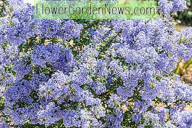 Ceanothus 'Puget Blue' (Californische lila)