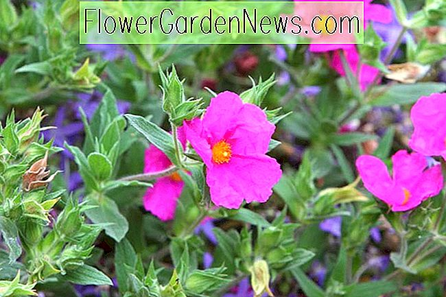 Cistus x pulverulentus 'Sunset' (Magenta Rock Rose)