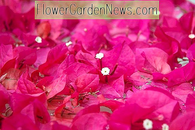 Bougainvillea 'Helen Johnson'