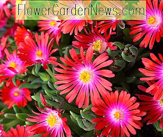 Delosperma 'Jewel of the Desert Garnet' (Ice Plant)