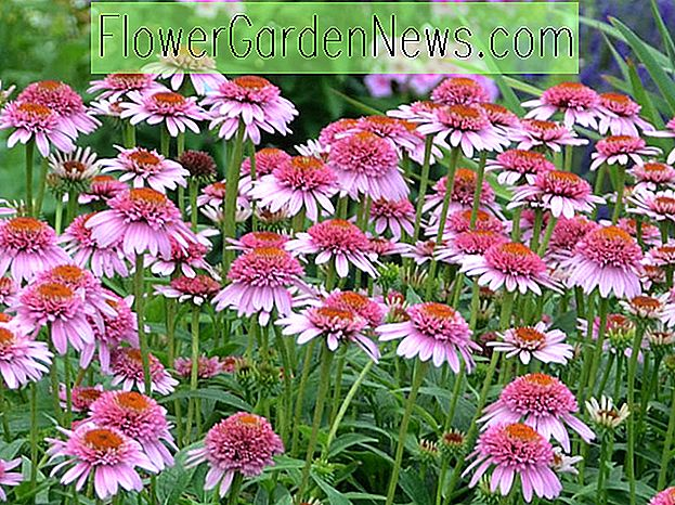 Echinacea purpurea 'Butterfly Kisses' (Coneflower)