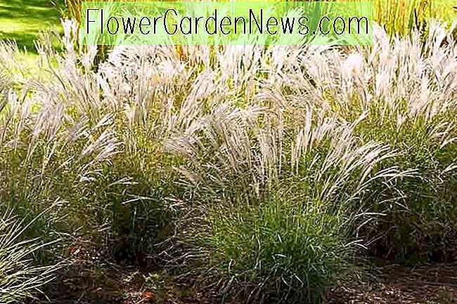 Miscanthus sinensis 'Little Kitten' (Maiden Grass)