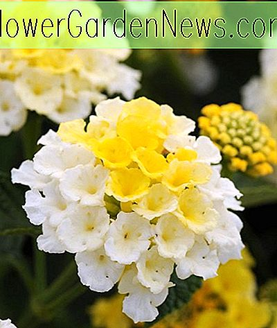 Lantana Lucky ™ Lemon Glow