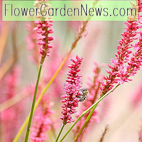 Persicaria amplexicaulis 'Firetail' (Mountain Fleece)
