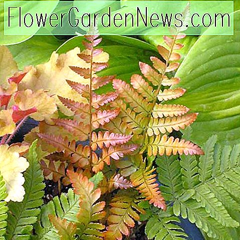 Dryopteris erythrosora 'Brilliance' (Herbstfarn)