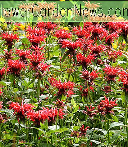 Monarda 'Jacob Cline' (Baume d'abeille)