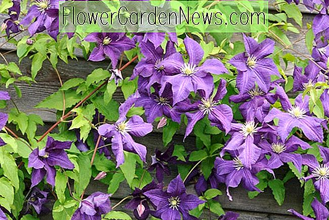 Clematis 'Aotearoa' (Late Large-Flowered Clematis)