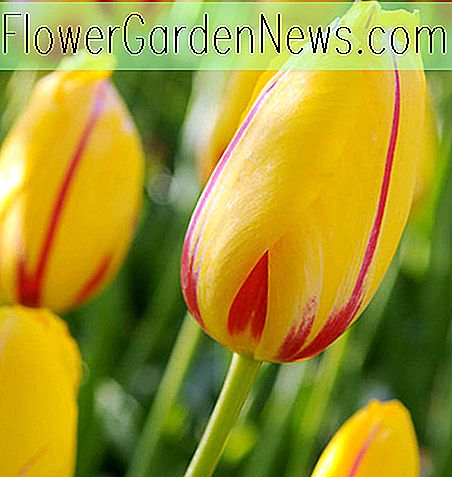 Tulipa 'La Courtine' (Single Late Tulip)