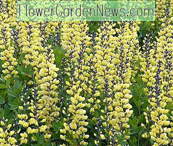 Baptisia 'Lemon Meringue' (False Indigo)