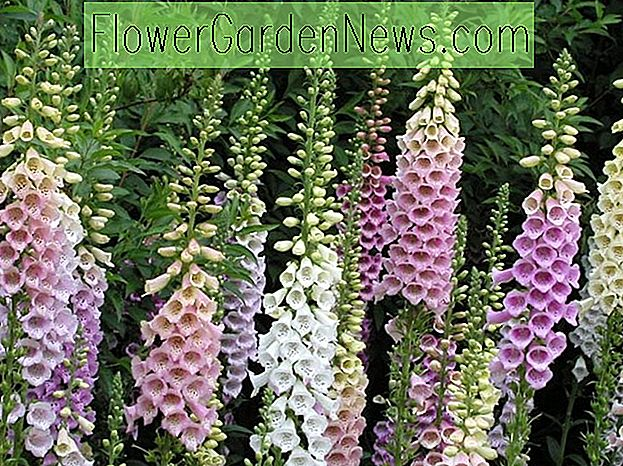 Digitalis purpurea 'กลุ่ม Excelsior' (Common Foxglove)