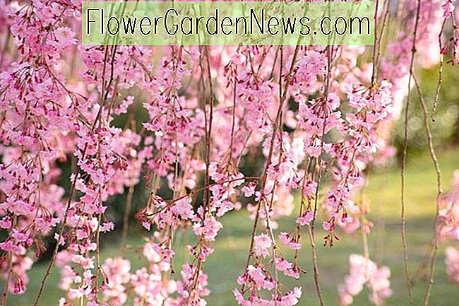 Prunus pendula (Weeping Cherry)