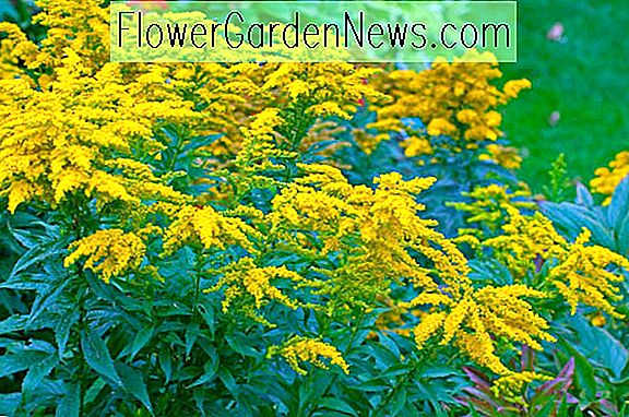 Solidago 'Goldkind' of 'Golden Baby' (guldenroede)