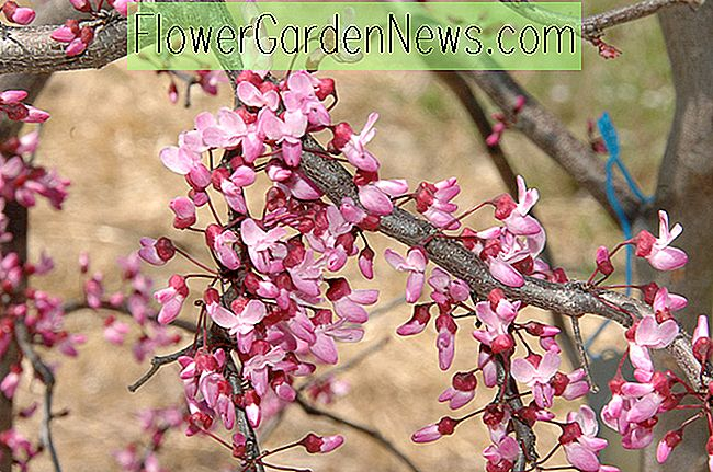Cercis canadensis 'Ruby Falls' (Redbud)