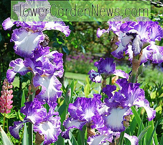 Iris 'Jesse Song' (Reblooming Bearded Iris)