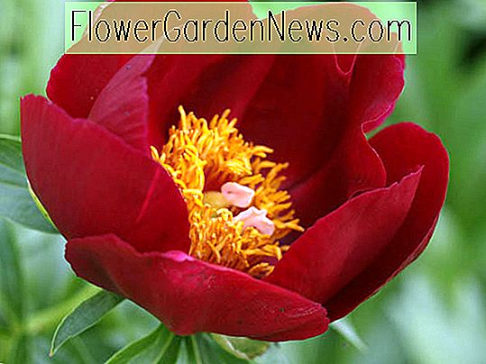 Paeonia 'Illini Warrior' (Pfingstrose)